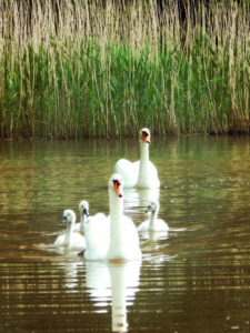 Swans at Tredegar House